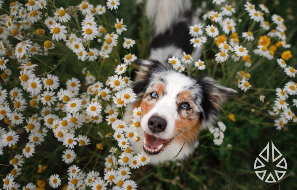 HAppy collie dog in a field of flowers smiling at the camera with blue eyes