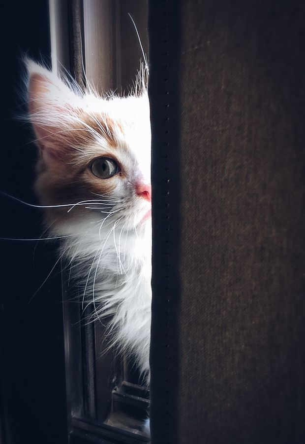 white and ginger fluffy cat hiding behind a door, peaking out with one eye looking inquisitive
