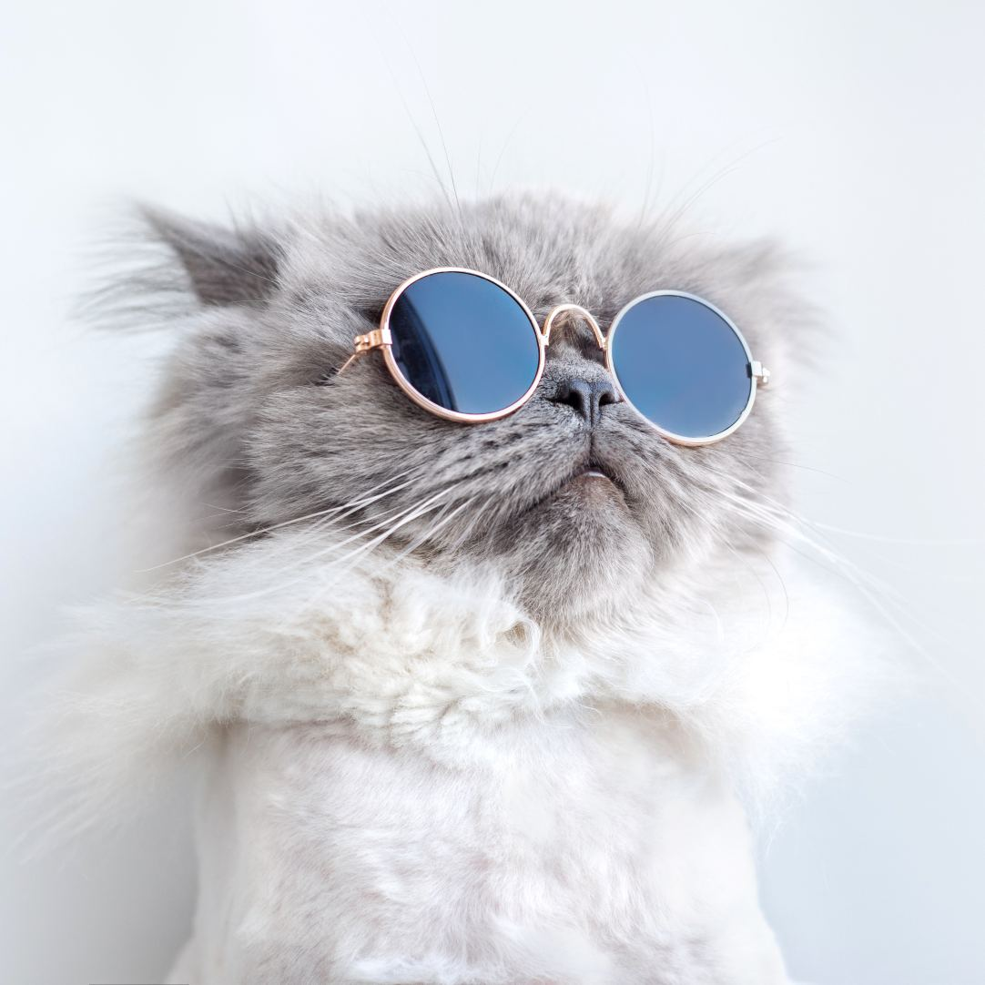 grey fluffy cat wearing round john lennon style sunglasses with a white background